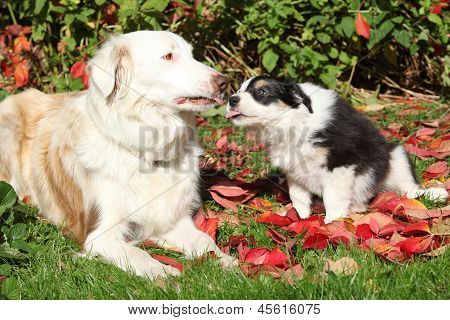 Nice Border Collie Bitch With Puppy In Red Leaves