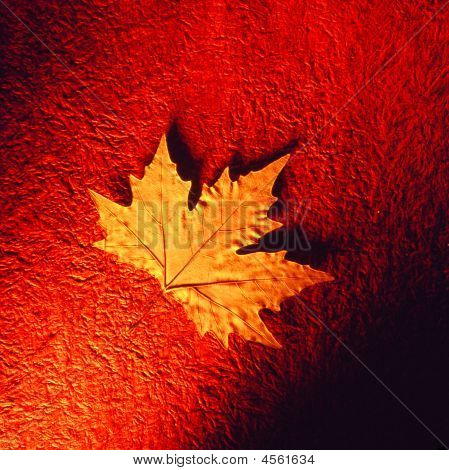 Dried Maple Leaf.
