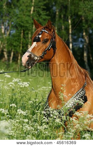 Portrait Of Chestnut Arabian Stallion With Perfect Harness