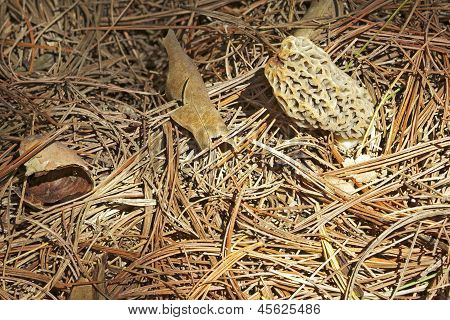 Morel Mushroom Growing In Pine Needles