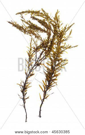 Japanese Wireweed