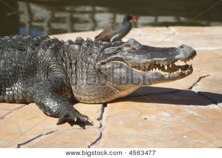 American Alligator On Concrete Slab More Body