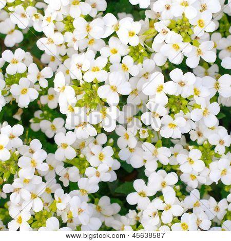 Ganz weiße Blumen blühen im Garten