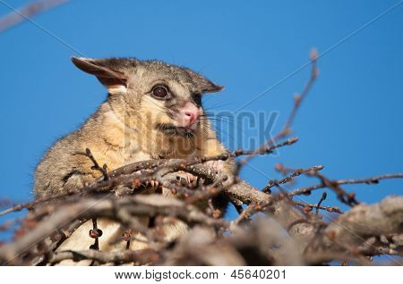 brush tail possum in tree