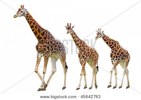 Giraffes family isolated on white
