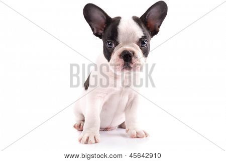 French bulldog puppy portrait over white background