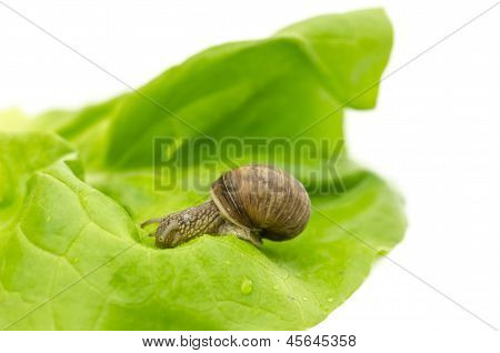 Garden Snail Eating Lettuce