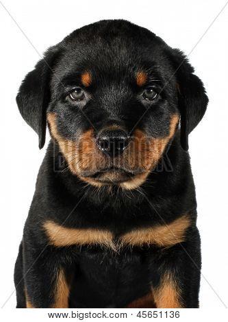 Little Rottweiler puppy dog