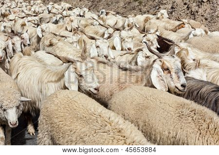 Herd of Pashmina sheep and goats in Himalayas. Himachal Pradesh, India