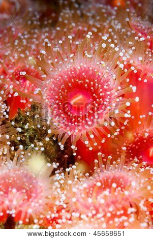 Red strawberry anemones with tentacles fully exposed shows the feeding behavior when the water is rich with plankton and current.