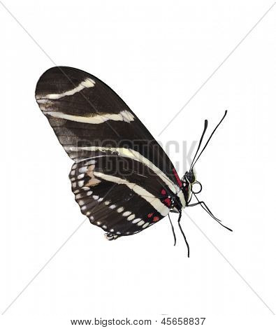 Zebra Longwing (Heliconius Charitonius) Butterfly On White Background