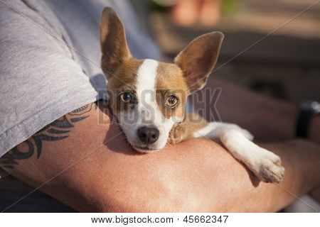 Cute Jack Russell Terrier Look On As Master Holds Her in His Lap.