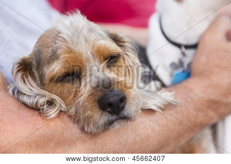 Cute Terrier Puppy Look On As Master Holds Her in His Lap.