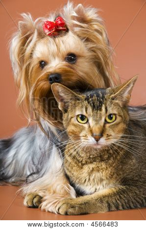 Dog Of Breed Yorkshire Terrier And Cat