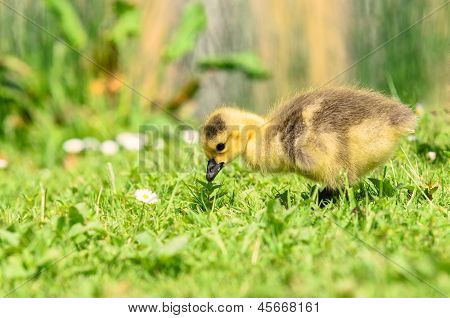 goose chick in grass