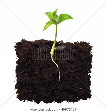 Small apple tree in ground with root.