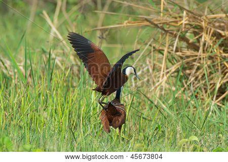 African Jacanas Mating