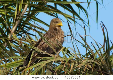 Black Kite Perched In Palm