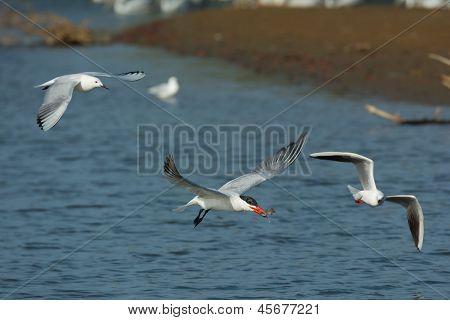 Caspian Tern In Flight Followed By Slender-billed Gulls