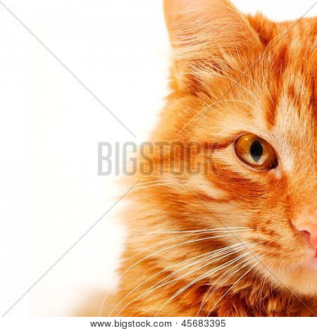 Red cat lying and posing at studio, closeup portrait on white background