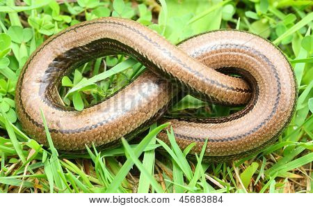 The Slow Worm or Blind Worm (Anguis fragilis).  These lizards are often mistaken for snakes. In gardens help remove pest insects. Close up with shallow DOF.