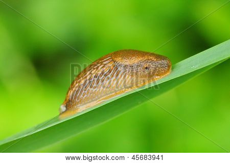 "The Spanish slug ( Arion vulgaris ) has been nicknamed ""killer slug"". Dangerous pest in vegetable garden. Close up with shallow DOF."