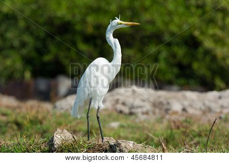 Great White Heron On Windy Day