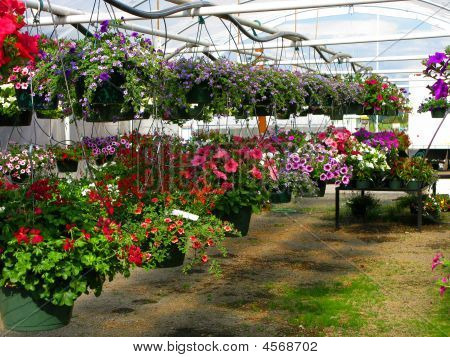 Nursery - Hanging Flower Plants
