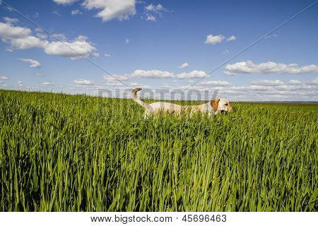 Labrador retriever in wheat field, and summer freedom