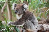 image of koalas  - native Australian Koala bear eating eucalyptus leaves - JPG