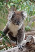 picture of koala  - native Australian Koala bear eating eucalyptus leaves - JPG