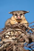 image of possum  - brush tail possum in tree - JPG