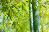 stock photo of bamboo  - Bamboo forest in warm sunlight - JPG