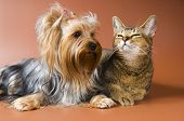 picture of cat dog  - Dog Of Breed Yorkshire Terrier And Cat in studio - JPG
