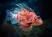 foto of lion-fish  - Lionfish underwater - JPG