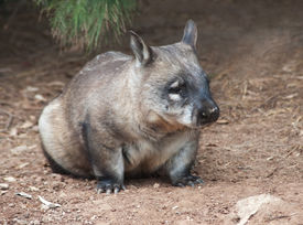 stock photo of wombat  - native australian Wombat sitting and looking out for something - JPG