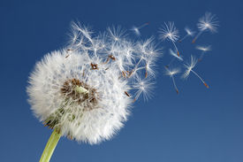 image of dandelion seed  - Dandelion with seeds blowing away in the wind across a clear blue sky - JPG