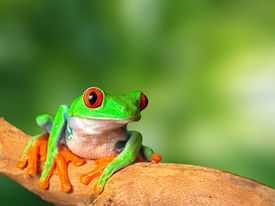 picture of nature conservation  - red eyed tree frog in tropical rain forest of Costa Rica - JPG