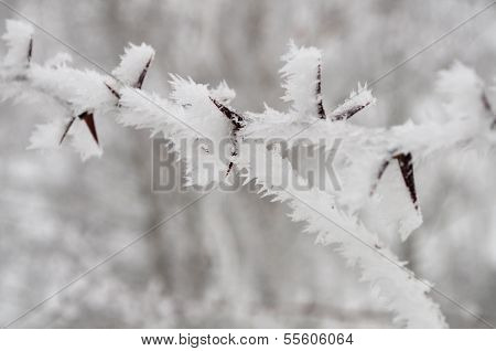 Thorny icy branch