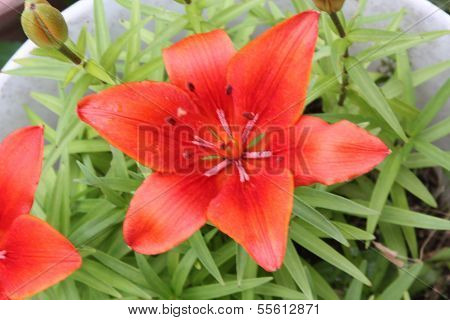 Day lily (Red)