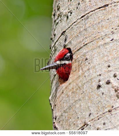 Rote Primatenart Saftlecker