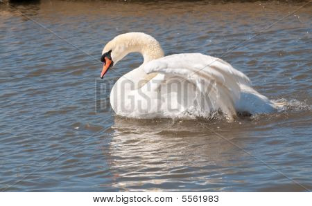 Male Mute Swan Flapping Wings
