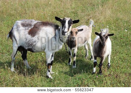 Goat And Kid On A Pasture