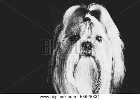 Shih tzu dog black and white film style portrait.