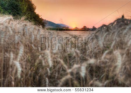 Wheat Grain Field At Sunset
