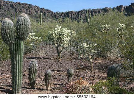 Arizona baby Saguaro cactus