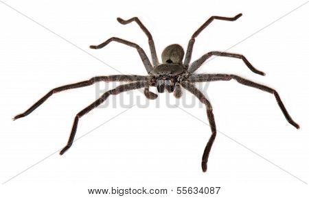 Catherine's Huntsman Spider