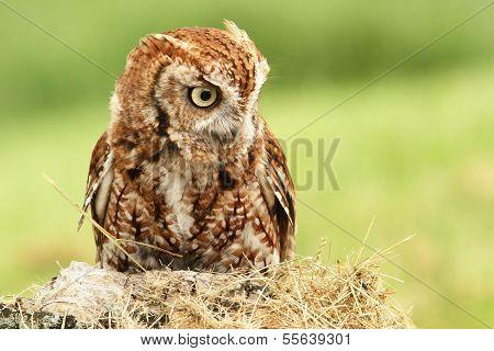 Little Red Screech Owl