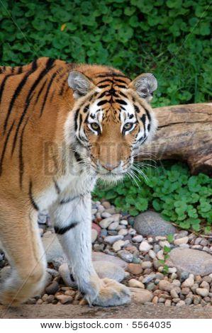 Looking Tiger