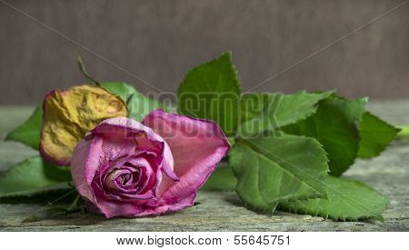 Withering pink rose